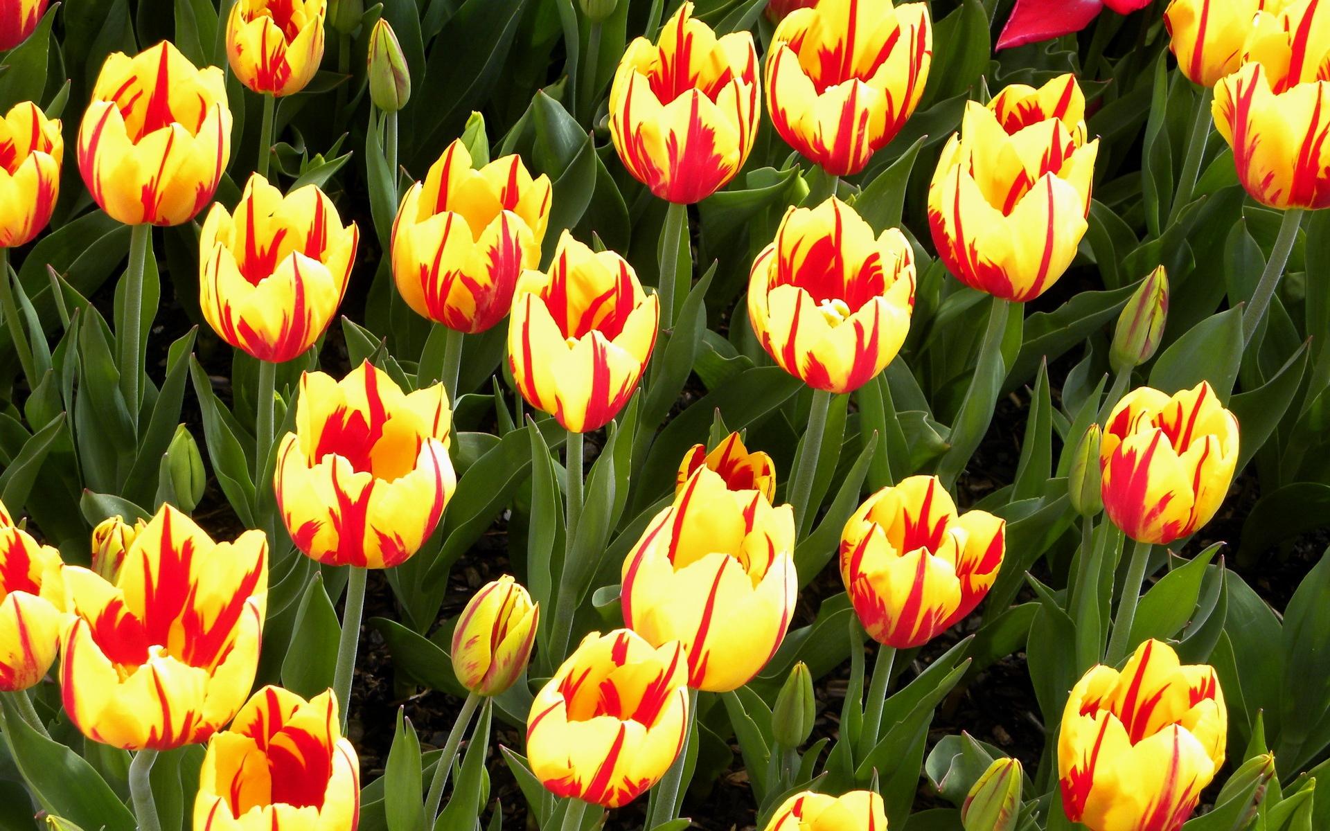 О раннем и пышном цветении тюльпанов по весне следует позаботиться ещё в осеннее время года