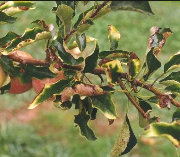 Хлороз роз лечение