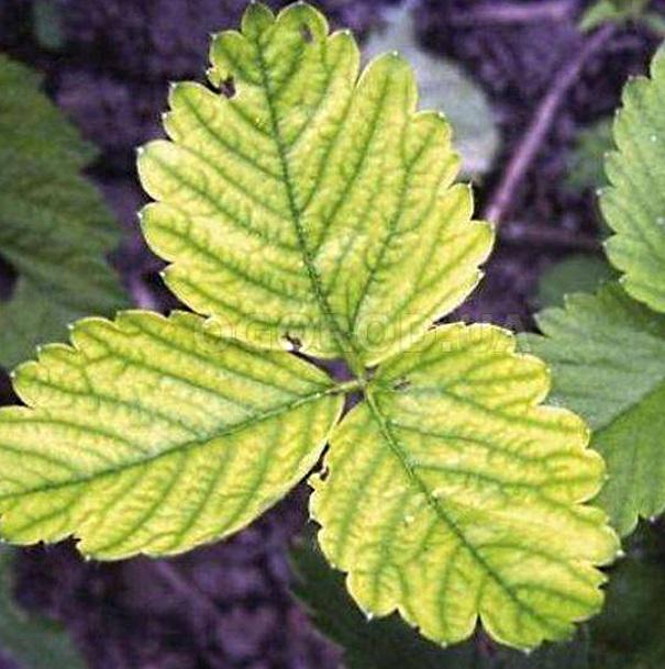Болезни листьев огурцов (34 фото): лечение овоща, как определить, чего не хватает листьям в теплице