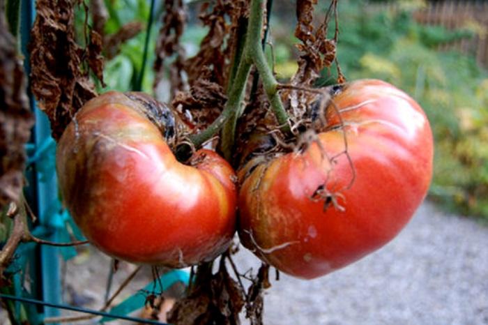 Если не бороться с заболеванием, то оно способно полностью уничтожить урожай