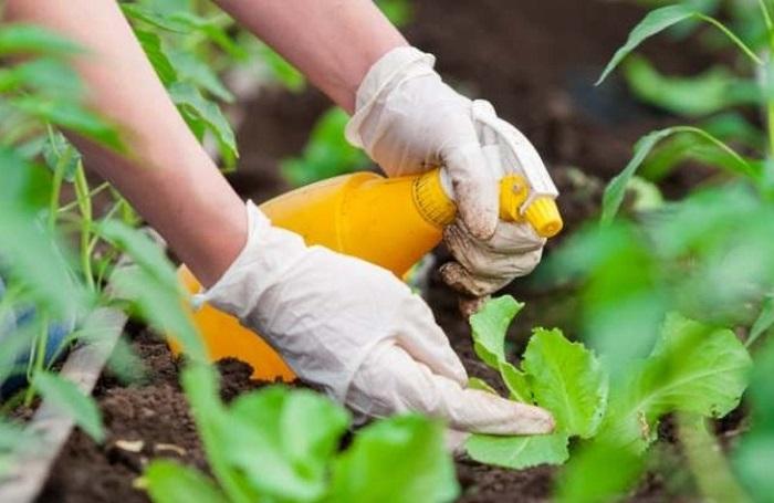 Своевременное выявление хлороза и правильное лечение убережет растение от полного засыхания и гибели