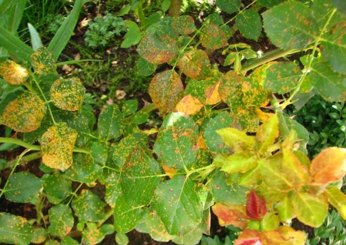 Растения, пораженные ржавчиной, прекращают развиваться, теряют влагу, процесс фотосинтеза замедляется