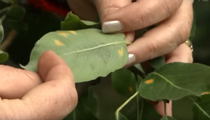 Совет от телепередачи Фазенда — не сажать груши рядом с можжевельником, чтобы предотвратить болезнь растений