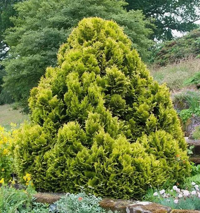 Маленькое хвойное дерево