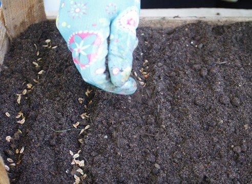 Как вырастить тую из семян у себя на даче