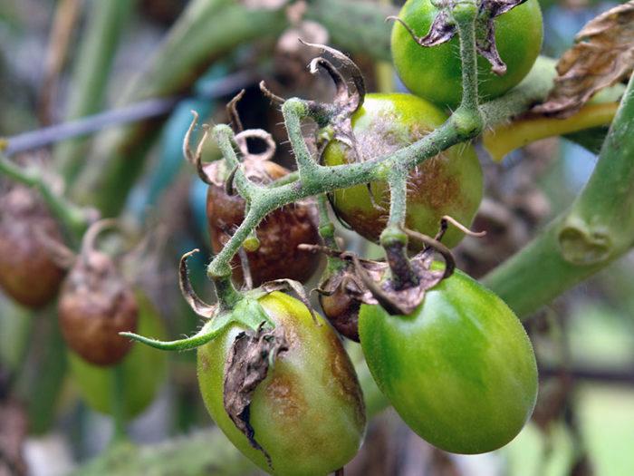 В первую очередь поражаются листья, стебли, а затем и плоды