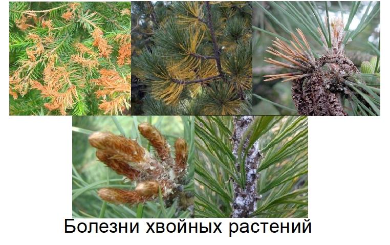 Есть раковые, некрозные, ржавчинные, гнилевые и грибковые болезни хвойных деревьев. Чаще всего они быстро распространяются на все хвойники в саду. Если вы заметили признаки заражения на дереве, нужно сразу же обработать его