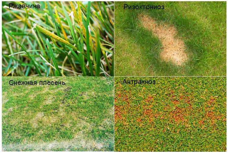 На фото — грибковые заболевания газонных трав. Чаще всего они возникают от переувлажнения почвы и застаивания воды