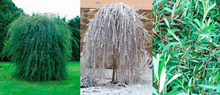 Ивовые деревья отличаются хорошо развитой корневой системой. Поэтому их часто высаживают для укрепления рыхлых и песчаных почв