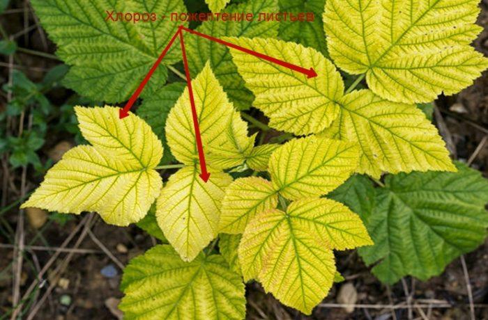 Хлороз у растений — это нарушение образования хлорофилла в листьях и постепенное угасание активности фотосинтеза (пожелтение листьев)