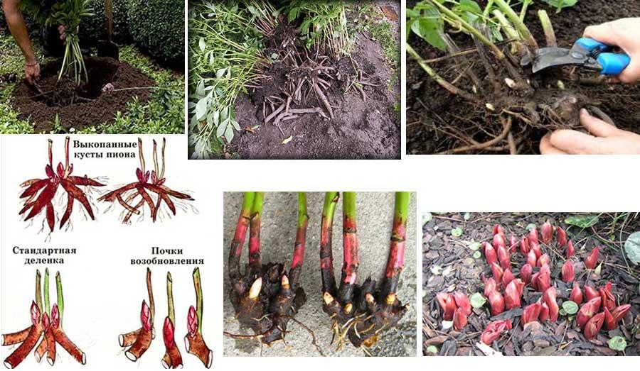 Чтобы пионы радовали пышным цветением не один год, нужно их правильно высадить. Кусты пионов высаживают на расстоянии 1,5–2 м от построек, заборов и деревьев