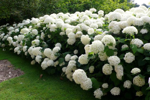 Шарообразные соцветия гортензии меняют окраску с бледно-зеленой на кремово-белую