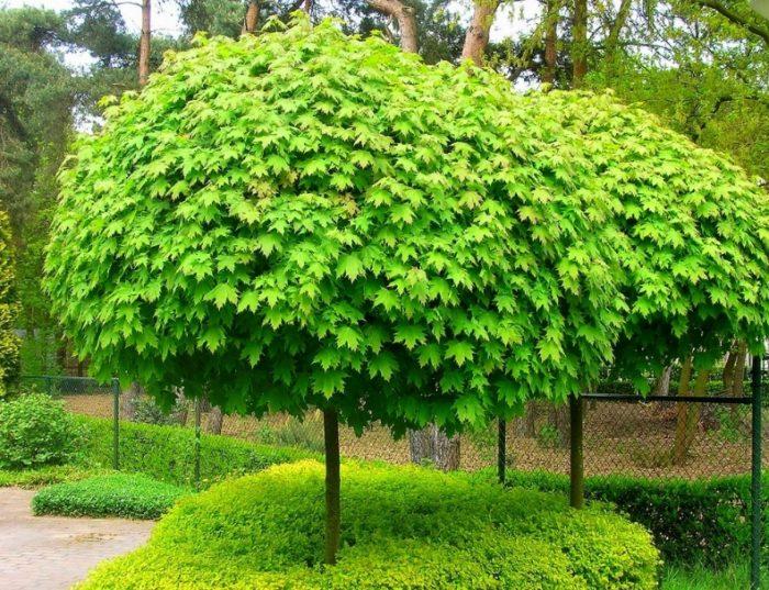 Клен на латыни называется acer platanoides «Globosum» и отличается плотной кроной правильной формы