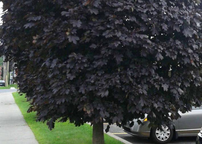 Ред Роял хорошо переносит загрязненный воздух, поэтому часто высаживается вдоль дорог и около автомобильных стоянок