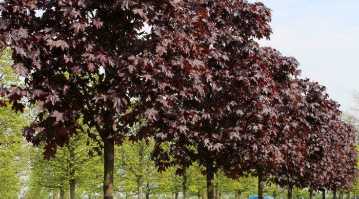Аллеи из клена Ред Роял используются на границах участков, в парках и вдоль проезжих частей