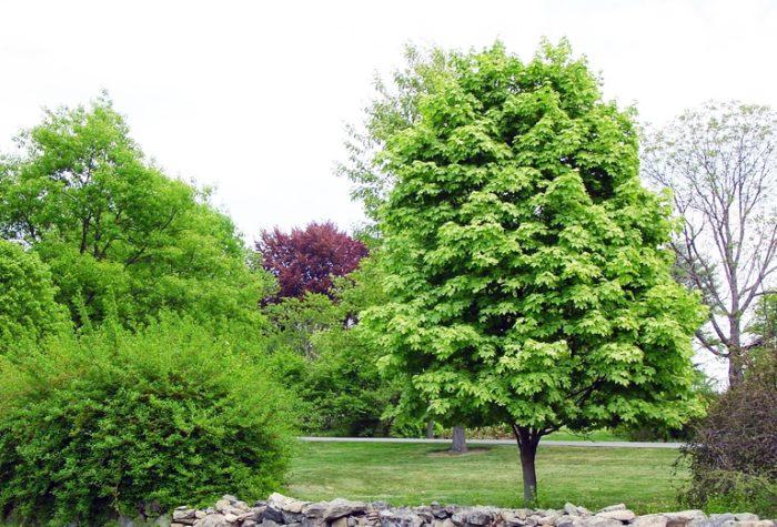 Полевой клен имеет овальную форму кроны и крупные блестящие листья