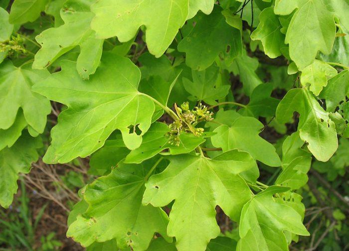 У полевого клена листья крупные, закругленные, чаще всего с пятью лопастями. Держатся на ножке длиной от 5 до 13 см