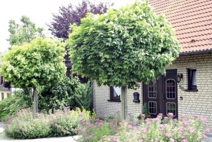 Карликовые породы часто сажаются по обе стороны от входа в дом или въезда во двор