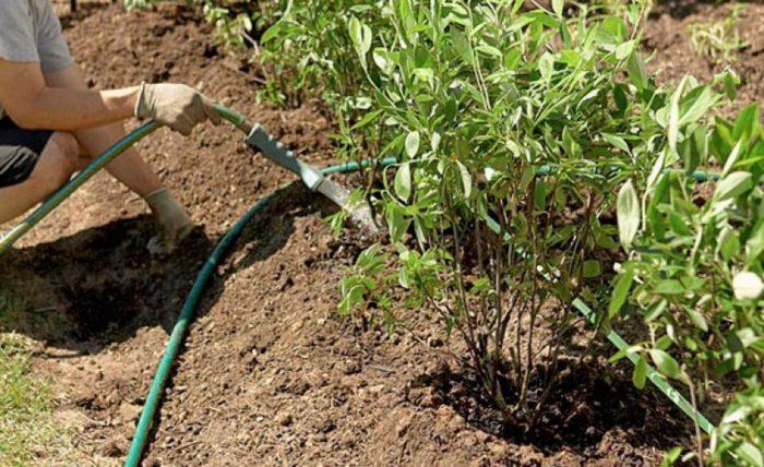 Для приживаемости проводите поливы еженедельно, добиваясь промачивания посадочной ямы на 30–50 см (1–2 десятилитровые лейки)