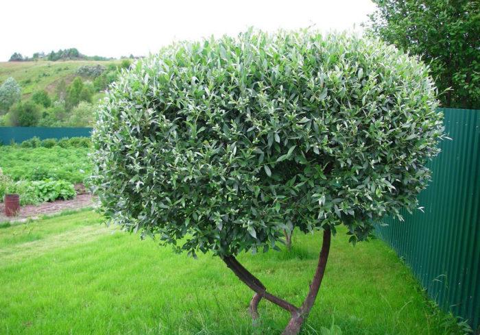 Через 3–4 года вырастает полноценное дерево/куст