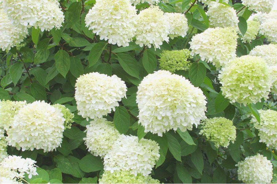 Пышные огромные соцветия прекрасно смотрятся в групповых и одиночных посадках
