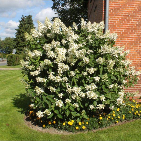 Стена дома надежно защищает растение от сильного ветра и сквозняков