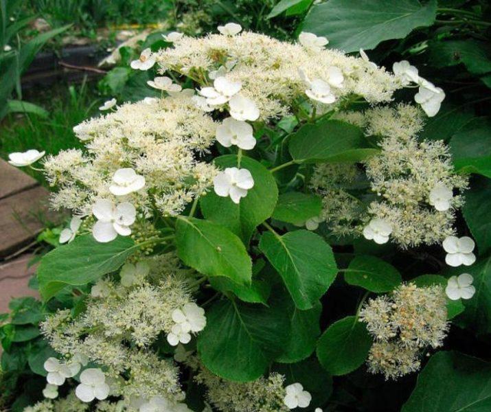 Гортензия плетистая – единственный вид гортензий, имеющий форму лианы