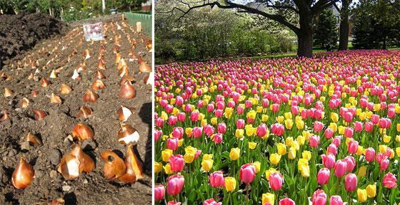 Тюльпаны плохо растут и развиваются на сквозняках, но любят открытые, солнечные участки