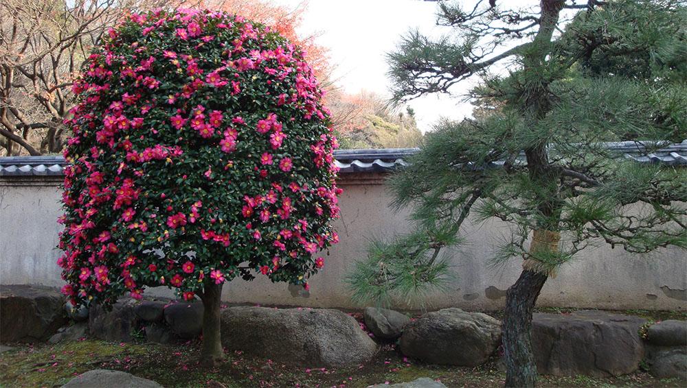Различные виды и сорта камелии можно выращивать на террасах, в оранжереях и в открытом грунте