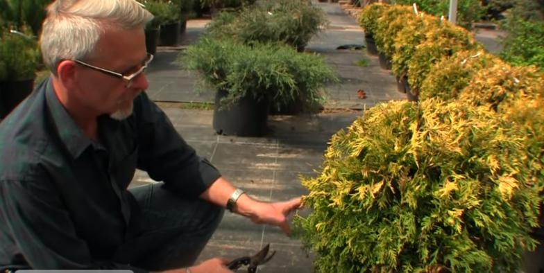 Эксперт от садового центра «Гринсад» рассказывает, как обрезать тую и придать ей красивый внешний вид
