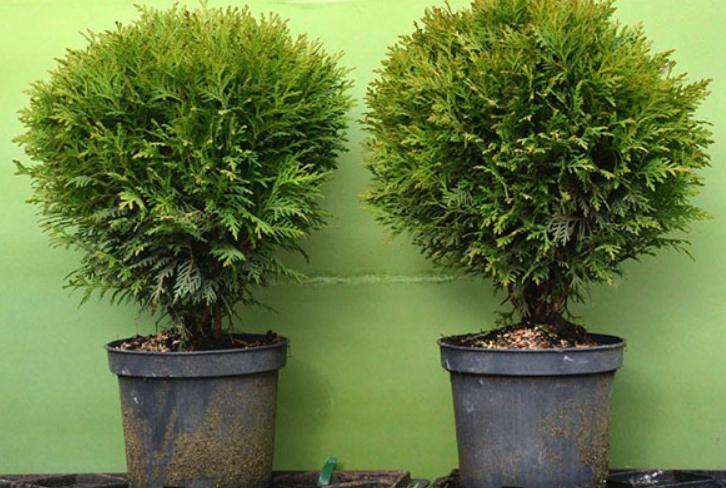 В питомниках продаются растения, которые после посадки станут полноценным элементом оформления участка