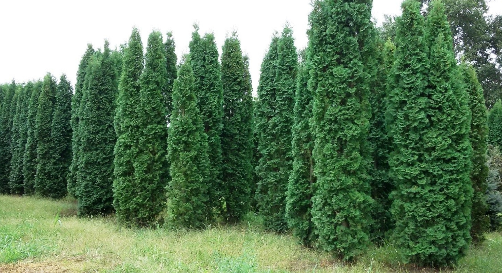 Из этого сорта делают живые изгороди, за счет насыщенного зеленого цвета они выглядят роскошно