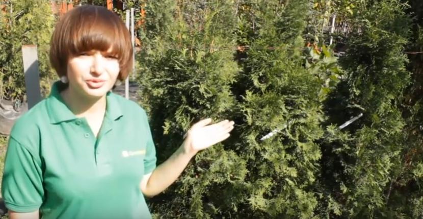 Специалист садового центра Greensad рассказывает обо всех особенностях сорта