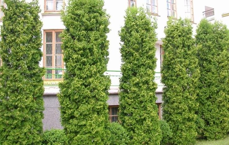 Аллея выглядит эффектнее, если между высокими деревьями посадить низкорослые