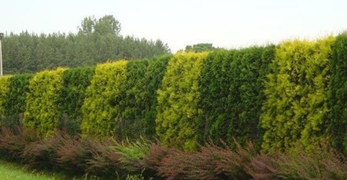 Пример оригинальной живой изгороди, в которой чередуются зеленые и золотистые варианты