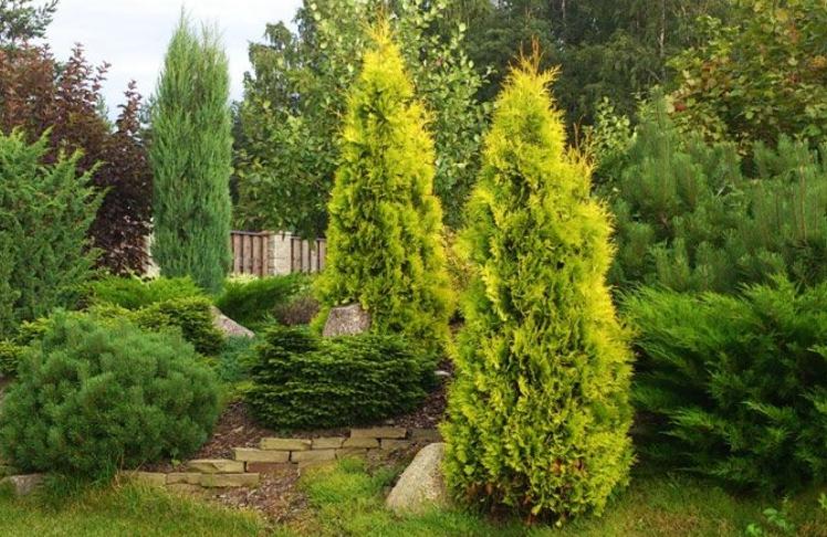 Золотистые туи отлично подходят для комплексного озеленения участков