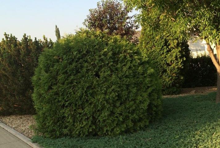 Этот вариант можно использовать и около проезжей части, так как туя хорошо растет и в условиях загрязненного воздуха