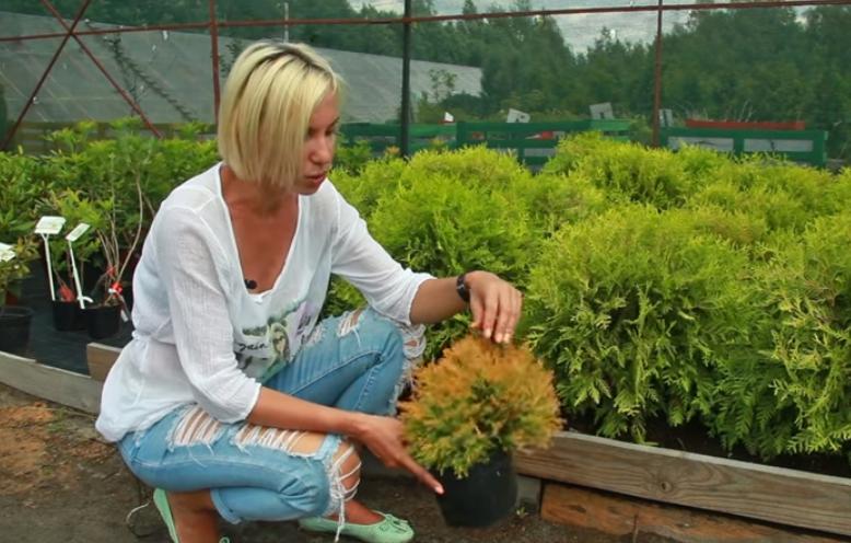 Специалист садового цента Октябрьский делится опытом по выращиванию туи Рейнголд