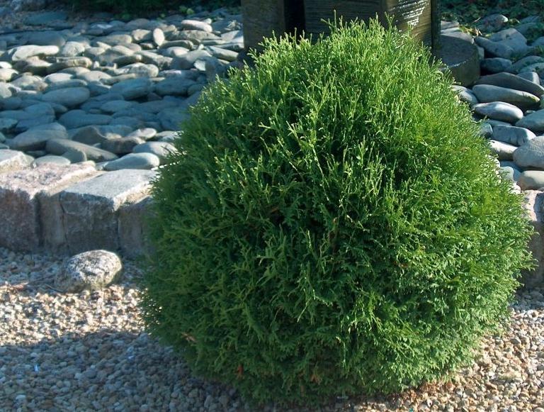 Даже взрослое растение имеет компактные размеры, поэтому отлично подходит для небольших участков