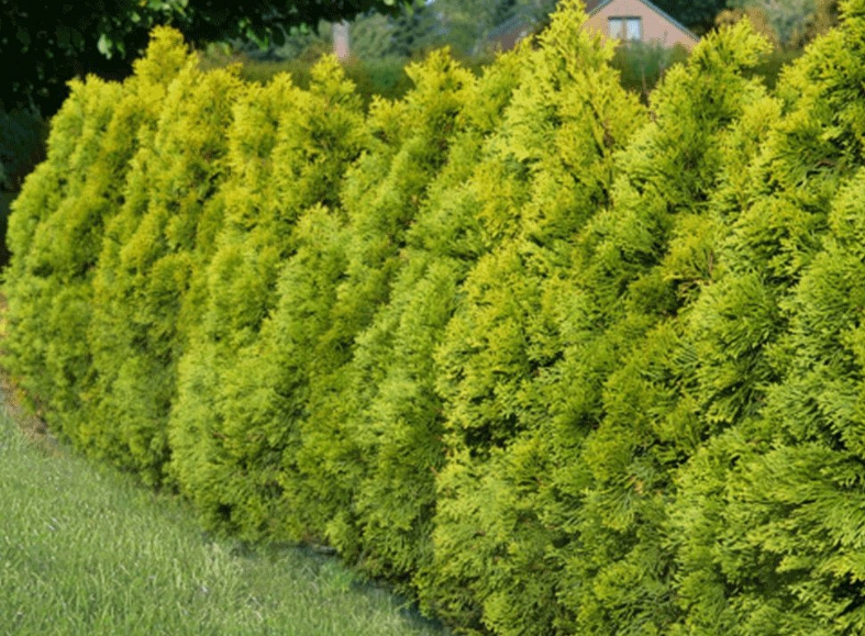 Живая изгородь из туи Голден Смарагд будет радовать вас ярким красками в течение всего года