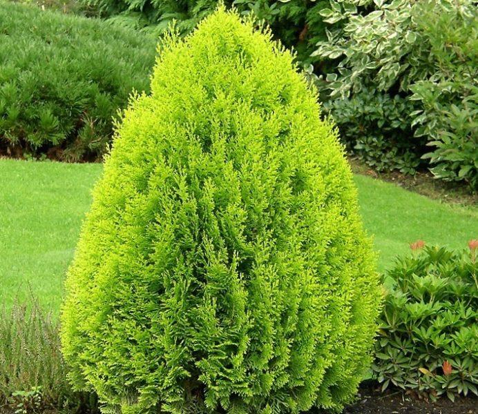 Если вы разместите растение правильно, то хвоя будет очень густой и яркой
