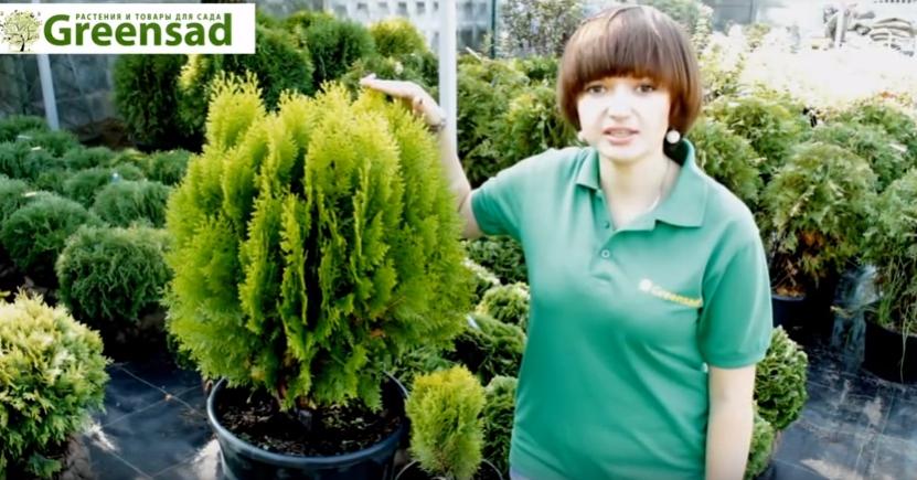 Специалист компании Greensad обращает внимание, что этот сорт очень требователен к уходу