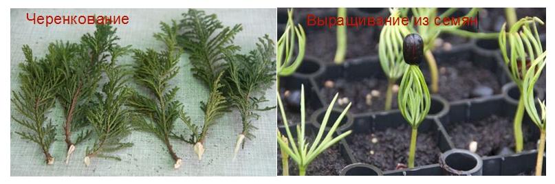 Желая сэкономить, можно вырастить посадочный материал самостоятельно. Осенью наберите шишечки понравившегося сорта, и посейте семена. Есть и эффективный способ — черенкование, проводится в мае