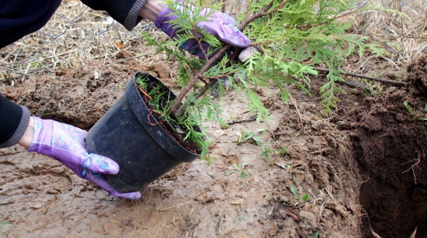 Размер ямы основывается на объёме корней, она должна быть больше в два раза