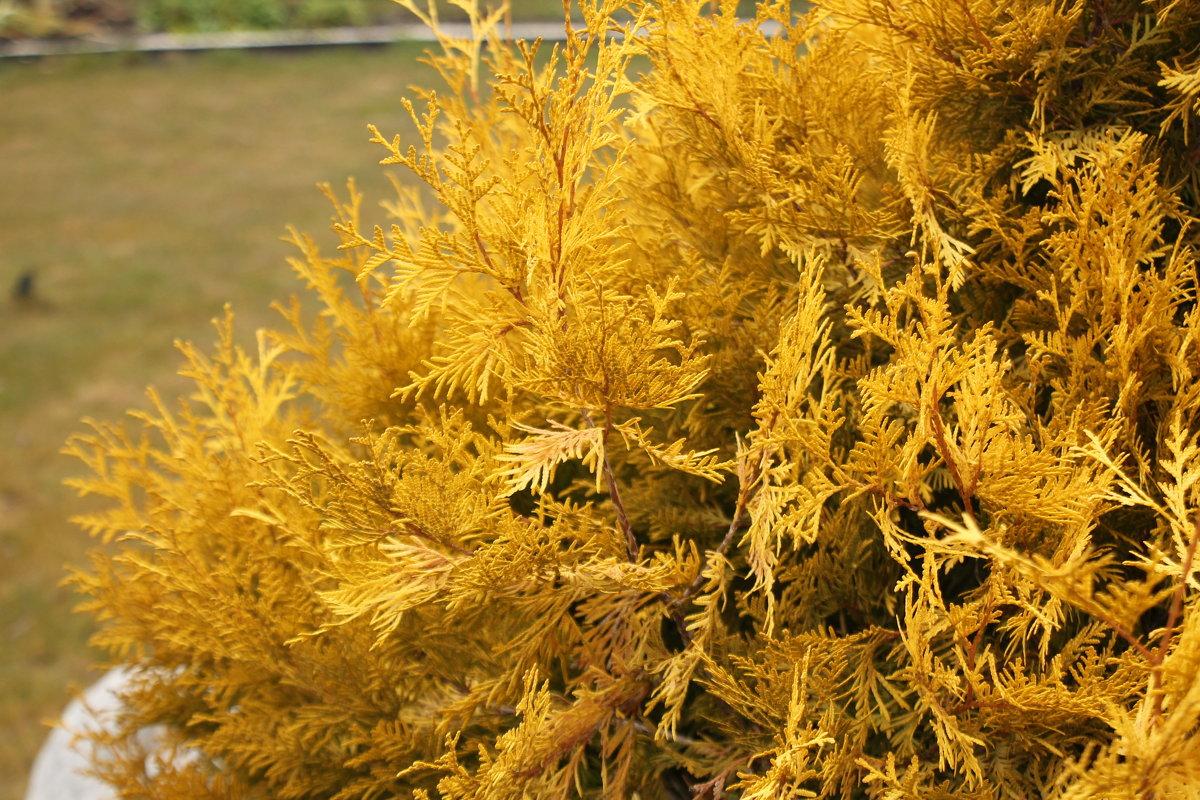 Осенью хвоя сортов Holstrup, Columna, Brabant становится желтовато-коричневой, это нормально