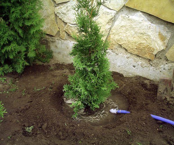 В период интенсивного роста, пока туя молодая, ей требуется более частый полив. В период засухи — до 1–2 раз в неделю. В остальное время — 1 раз в месяц