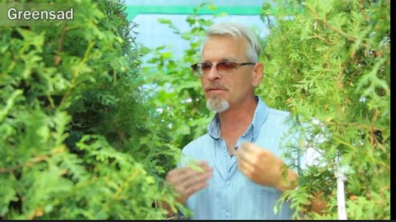 """Садовый центр """"Гринсад"""" дает советы по выращиванию и применению туи в ландшафтном дизайне"""