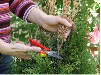 Осенью обрезка сводится к удалению сухих, больных веточек. А прореживание кроны в средине — улучшит циркуляцию воздуха и превентивную борьбу с вредителями