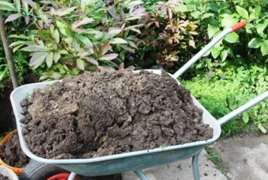 Чтобы поддержать растение после осенней обрезки или при пересадке, достаточно внести в грунт торф, древесную золу или компост