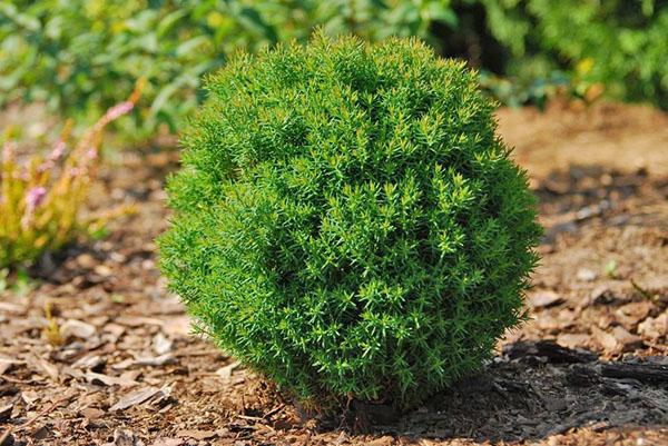 Уход за туями осенью обязательно включает мульчирование — лучший способ утеплить корни и сохранить экземпляр